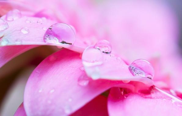 Picture flower, water, drops, macro, Rosa, pink, petals