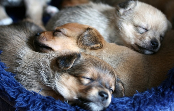 Picture dogs, comfort, puppies