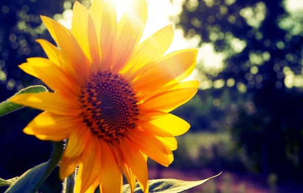 Photo wallpaper summer, the sun, ray, sunflower
