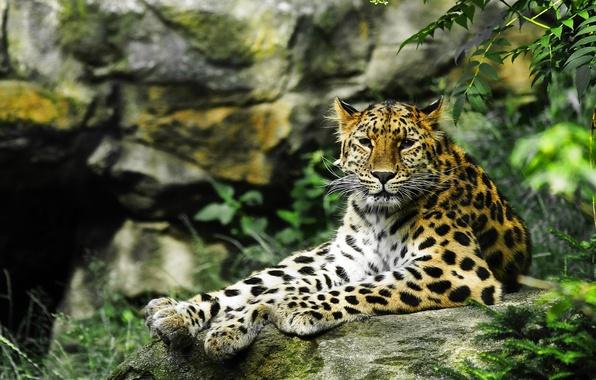 Picture look, predator, leopard, wild cat