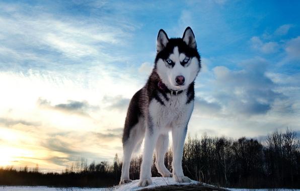 Picture winter, the sky, dog, husky