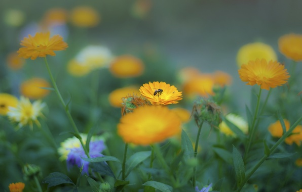 Picture summer, flowers, bee, yellow, insect, flowerbed, calendula