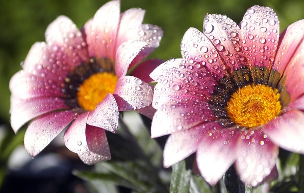 Photo wallpaper drops, flowers, droplets, Rosa, Prada
