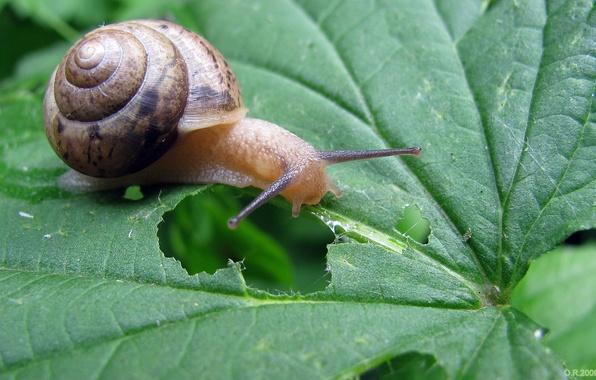 Picture greens, grass, nature, sheet, snail