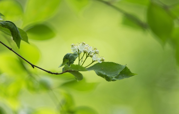 Picture leaves, flowers, background, branch, white