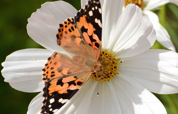 Picture flower, macro, butterfly, kosmeya, Vanessa certopoloha, the painted lady, painted lady