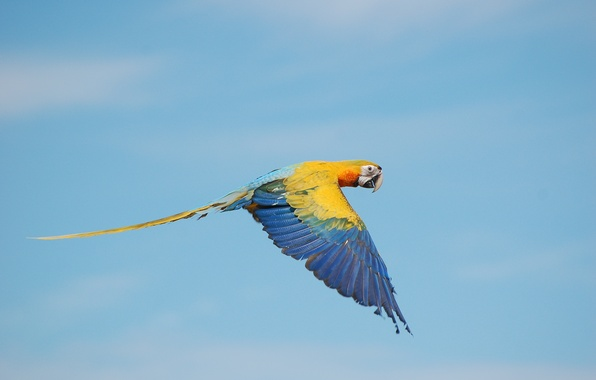 Picture the sky, color, flight, wing, Ara