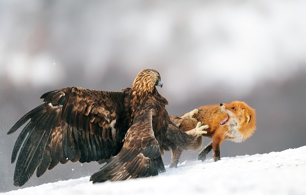 Picture winter, snow, bird, eagle, Fox, eagle, battle