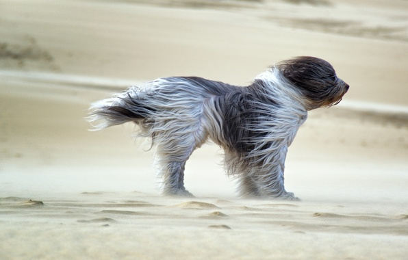 Picture dog, sands, wind, fell