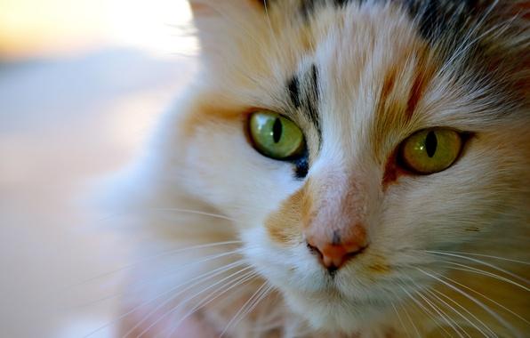 Picture cat, cat, mustache, face, Kote, tri-color