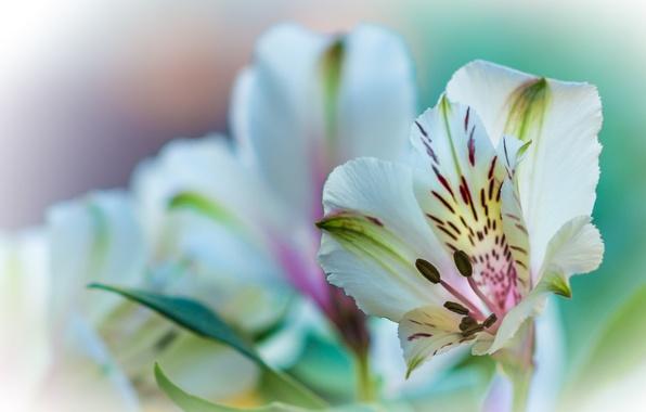 Picture flower, nature, plant, Lily, petals