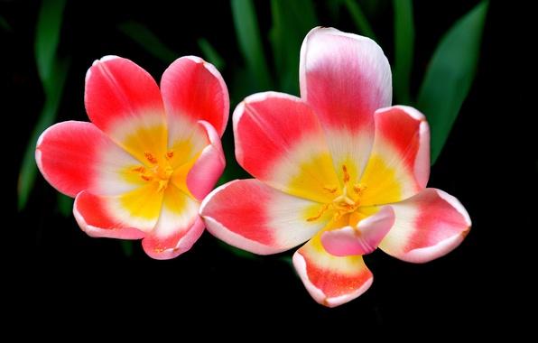 Picture leaves, macro, background, Tulip, petals