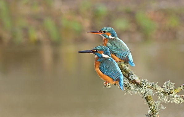 Picture birds, branch, pair, Kingfisher