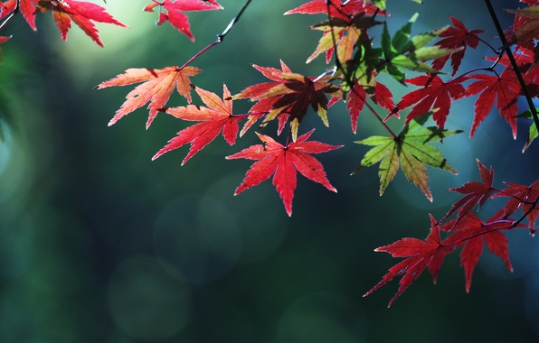 Picture autumn, leaves, macro, color, branch, maple
