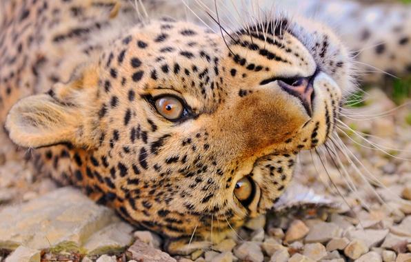 Picture mustache, look, face, pebbles, stay, leopard, lies, curiosity