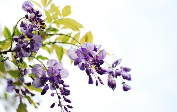 Picture leaves, flowers, branches, white background, bunches, Wisteria