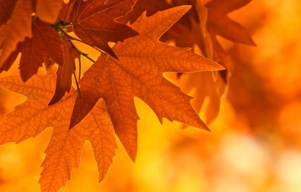 Picture autumn, leaves, light, sheet, branch, maple