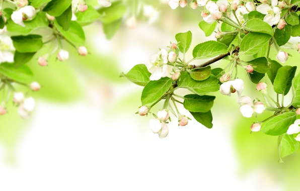 Picture leaves, flowers, branches, spring, Apple