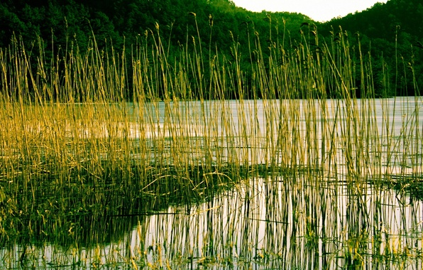 Picture forest, trees, mountains, lake, river, plant, reed