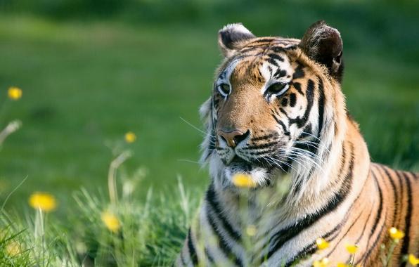 Picture summer, grass, face, strips, tiger, predator