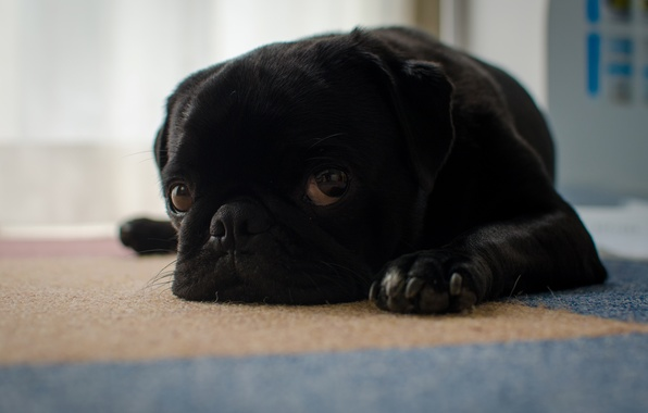 Picture sadness, look, each, dog, pug
