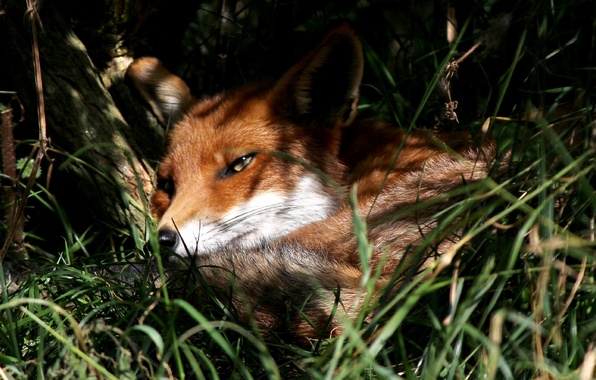 Picture summer, nature, Fox