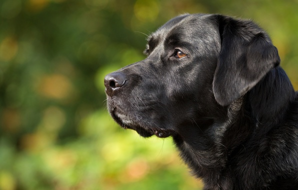 Picture face, portrait, dog, profile, Labrador Retriever