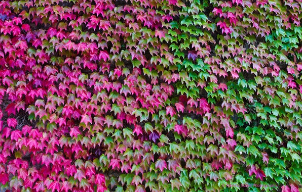 Picture autumn, leaves, color, ivy