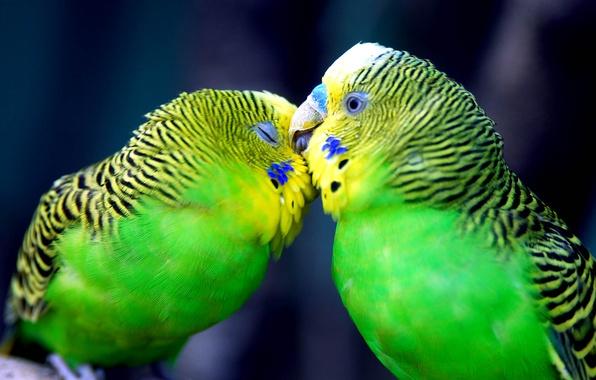 Picture love, tenderness, feelings, kiss, parrots
