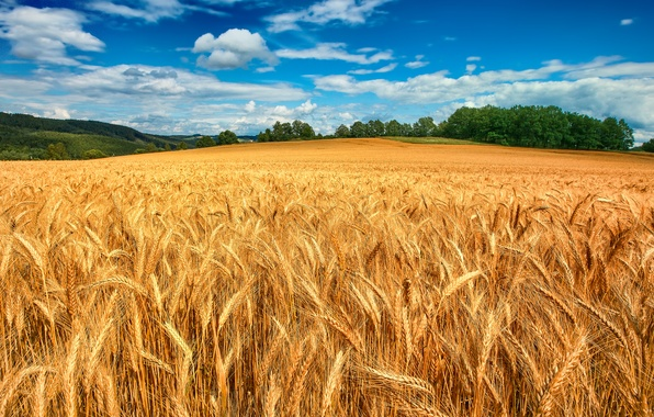 Picture wheat, field, forest, the sky, clouds, trees, ears