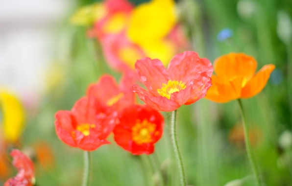 Picture flower, summer, light, orange, red, bright, green, heat, pink, glade, color, Mac, petals, field