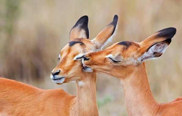 Picture two, kiss, South Africa, Impala, charapata antelope