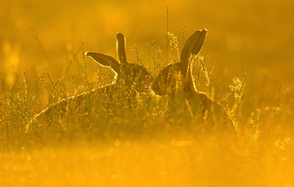 Picture field, grass, nature, hare, pair, hare