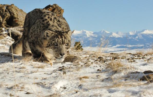 Picture cat, look, snow, mountains, nature, IRBIS, snow leopard