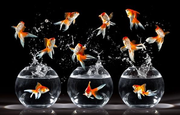 Picture fish, rendering, aquarium, gold
