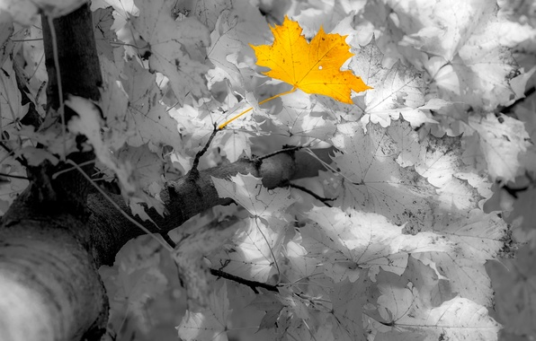 Picture autumn, leaves, maple, Manfred Sket