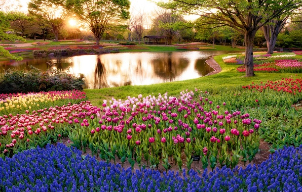 Picture the sun, rays, trees, flowers, pond, Park, sunrise, morning, Japan, Tokyo, tulips, colorful, blue, Muscari