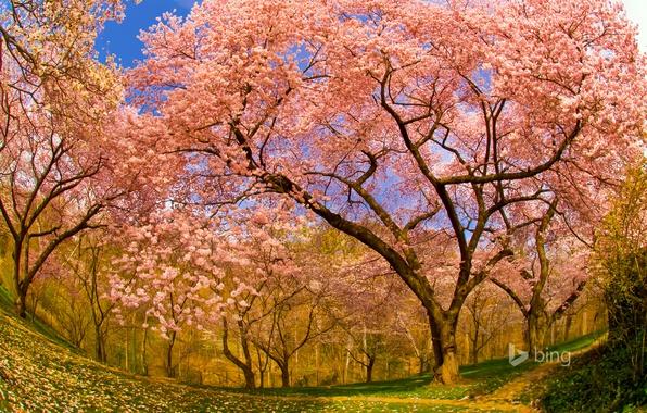 Picture cherry, spring, garden, Washington, USA, flowering, DC, Dumbarton Oaks