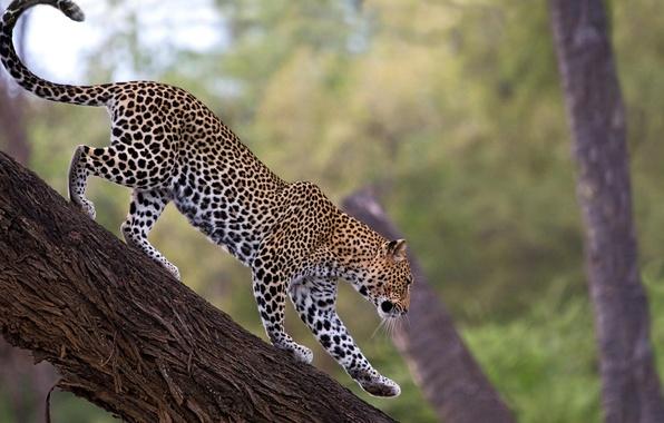 Picture tree, leopard, leopard