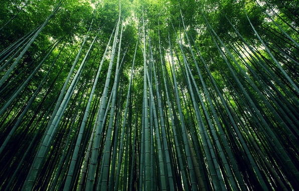 Picture forest, stems, foliage, bamboo, grove