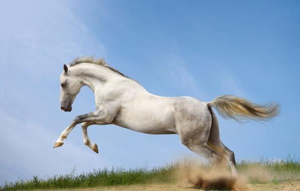 Picture horse, horse, dust, running, runs