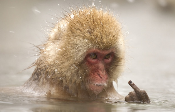 Picture face, water, the situation, bathing, monkey, fingers, middle finger, monkey, Japanese macaques