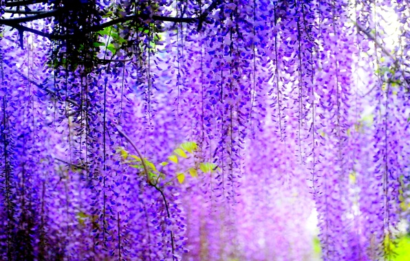 Picture trees, flowers, blur, flowering, bunches, Wisteria
