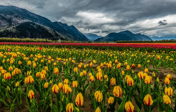 Picture field, clouds, snow, landscape, flowers, mountains, nature, tulips, landscape, nature, clouds, mountain, snow, tulips, field …