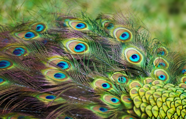 Picture feathers, peacock, color