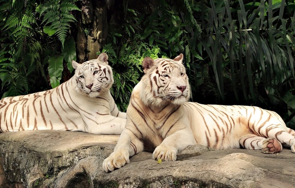 Picture cats, pair, white, tigers
