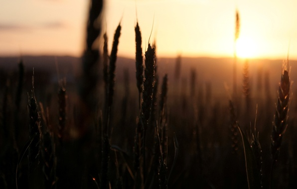 Picture wheat, field, the sky, the sun, macro, sunset, nature, background, widescreen, Wallpaper, rye, spikelets, wallpaper, …