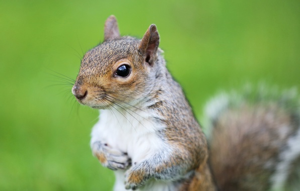 Picture look, green, background, muzzle, Protein, rodent, squirrel