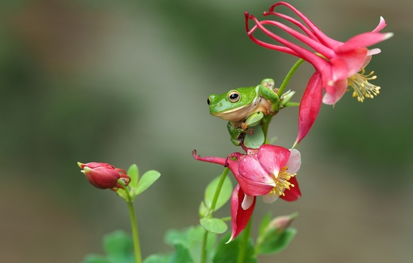Picture macro, flowers, frog, treefrog, drevenica
