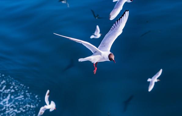Picture sea, flight, birds, Seagull